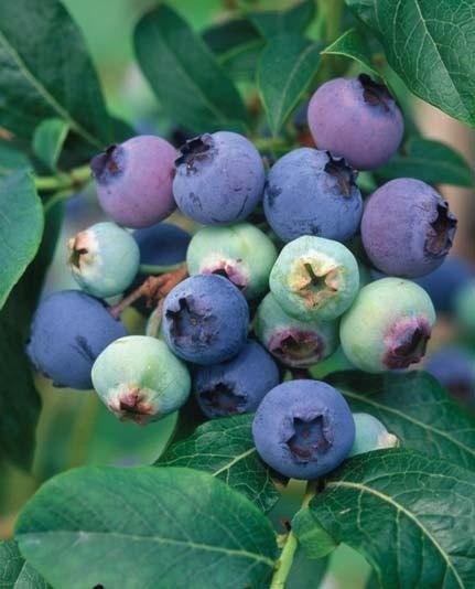 Сорт Бригитта Блю отличается поздним созреванием плодов