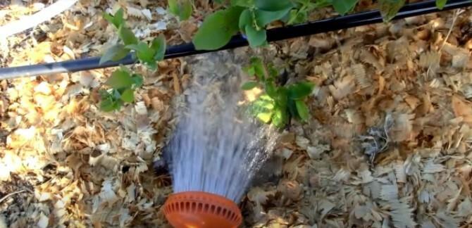 Полив грунта голубики закисленной водой