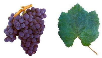 бага виноград
