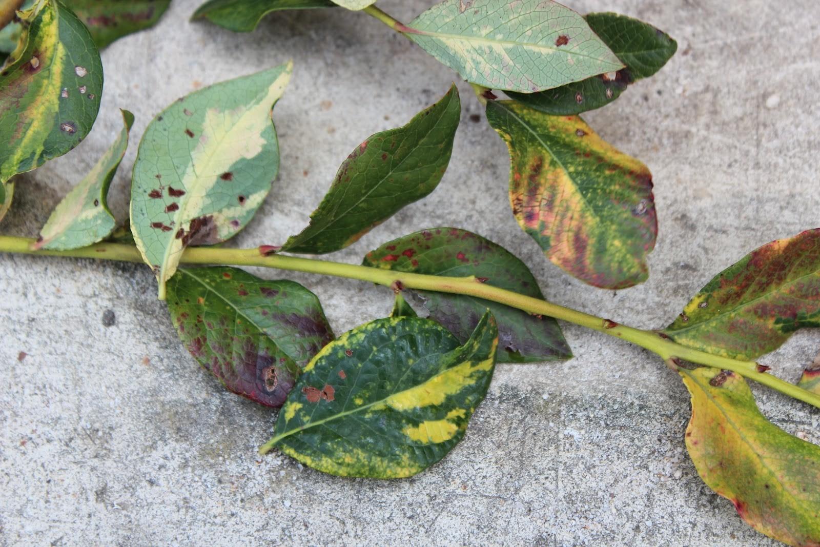 При поражении вирусов мозаики листья покрываются пятнами