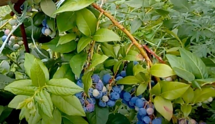 Ягоды красиво контрастируют с яркой листвой