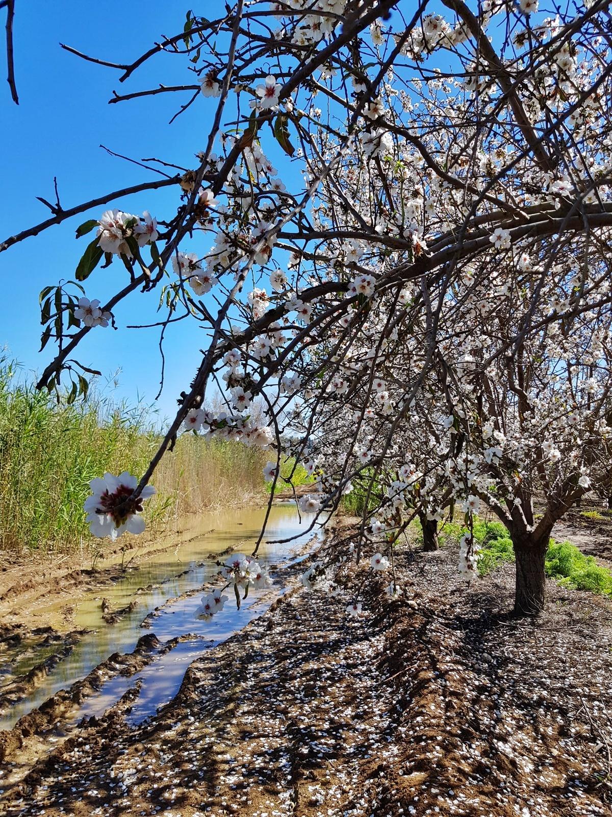 Миндальные деревья весной. Израиль.