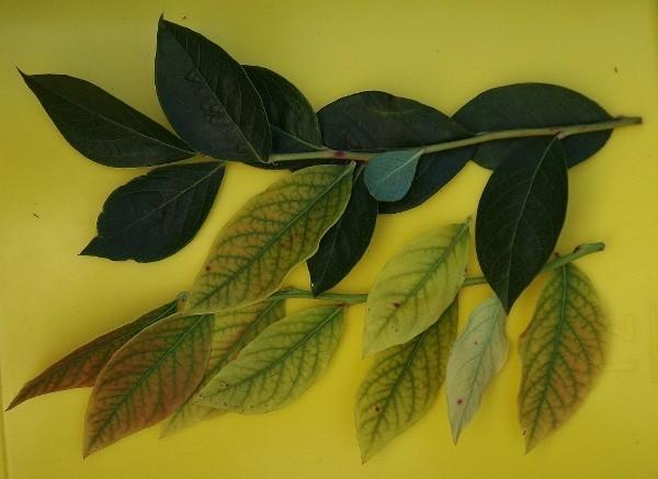 Если листья голубики начинают приобретать светло-зеленый цвет это признак хлороза