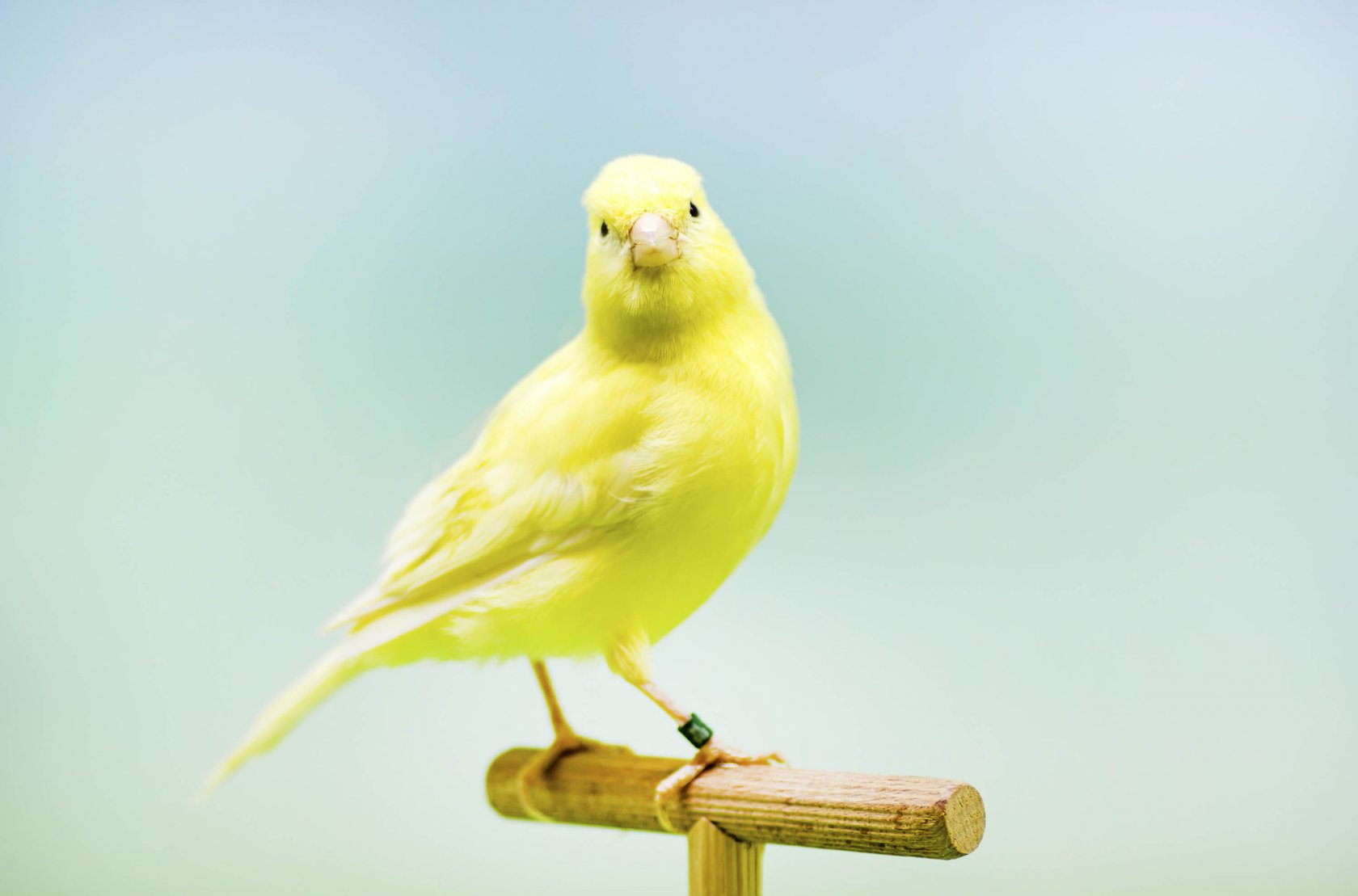 Resultado de imagen para Aves Canoras