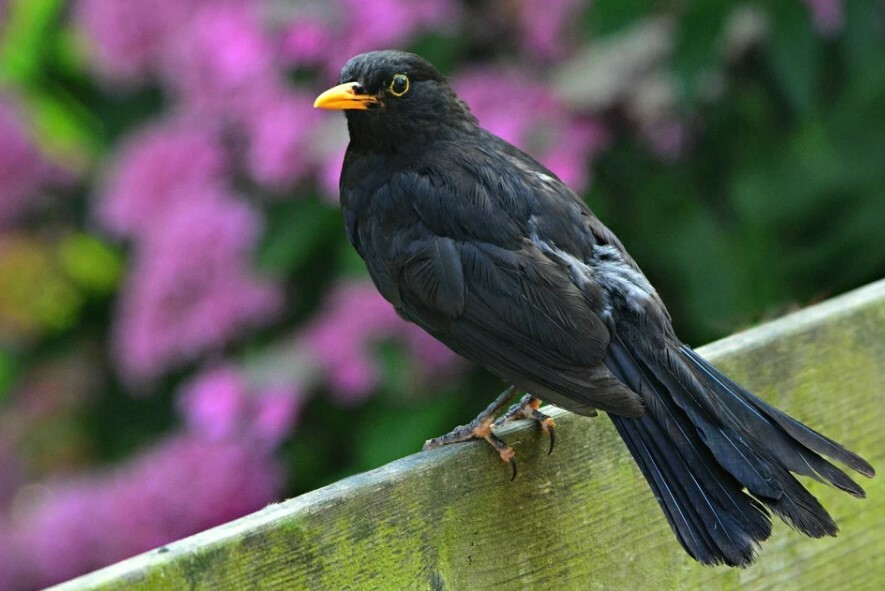 Птицы любят полакомиться голубикой, и одним из главных вредителей является черный дрозд