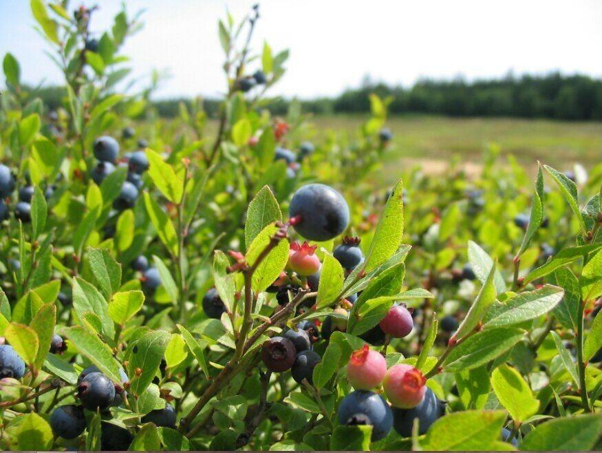 Плоды формируются по внешним побегам, поэтому их легко собирать