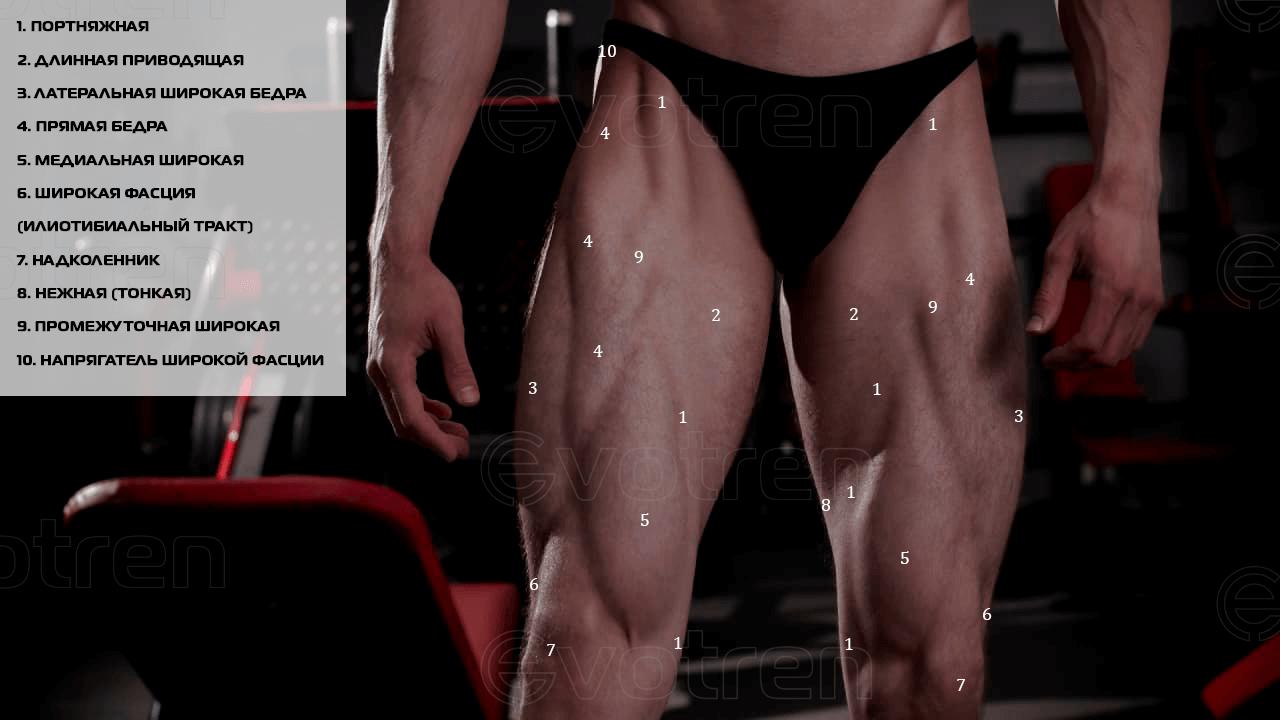 Расположение четырехглавой мышцы бедра