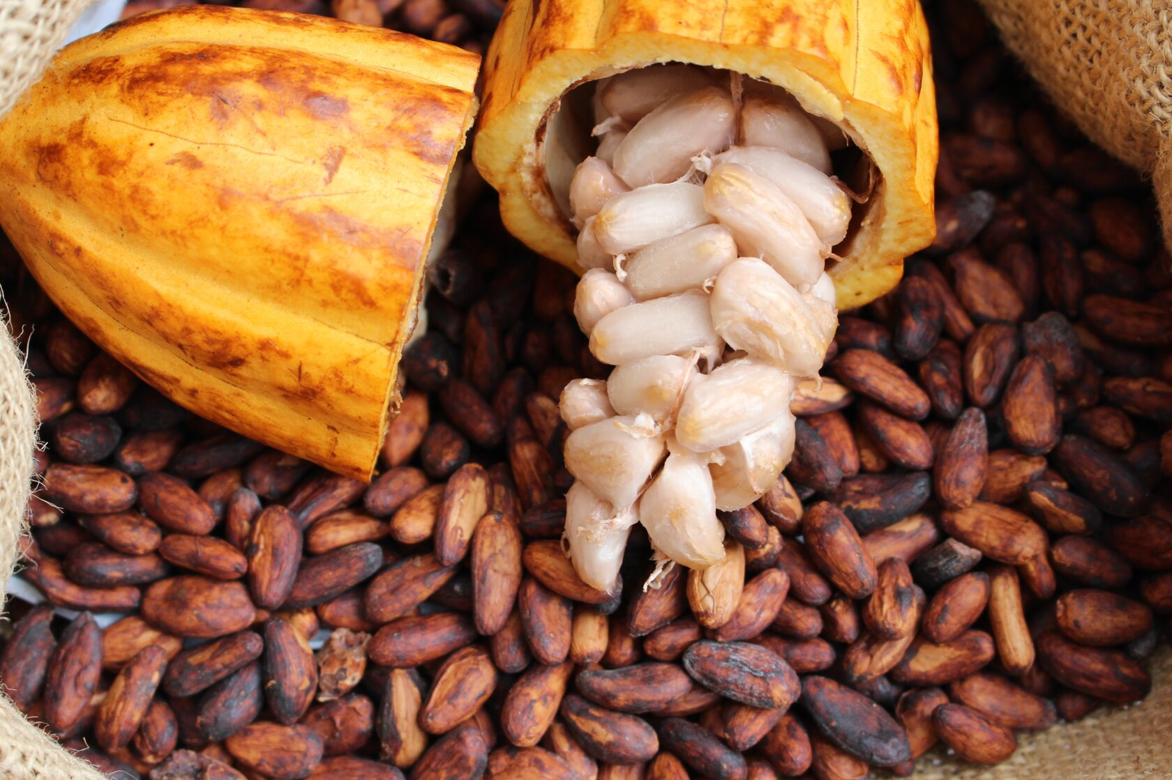 Cacau silvestre da Amazônia apresenta grande potencial de mercado para fabricação de chocolate (Foto: SOS Amazônia)