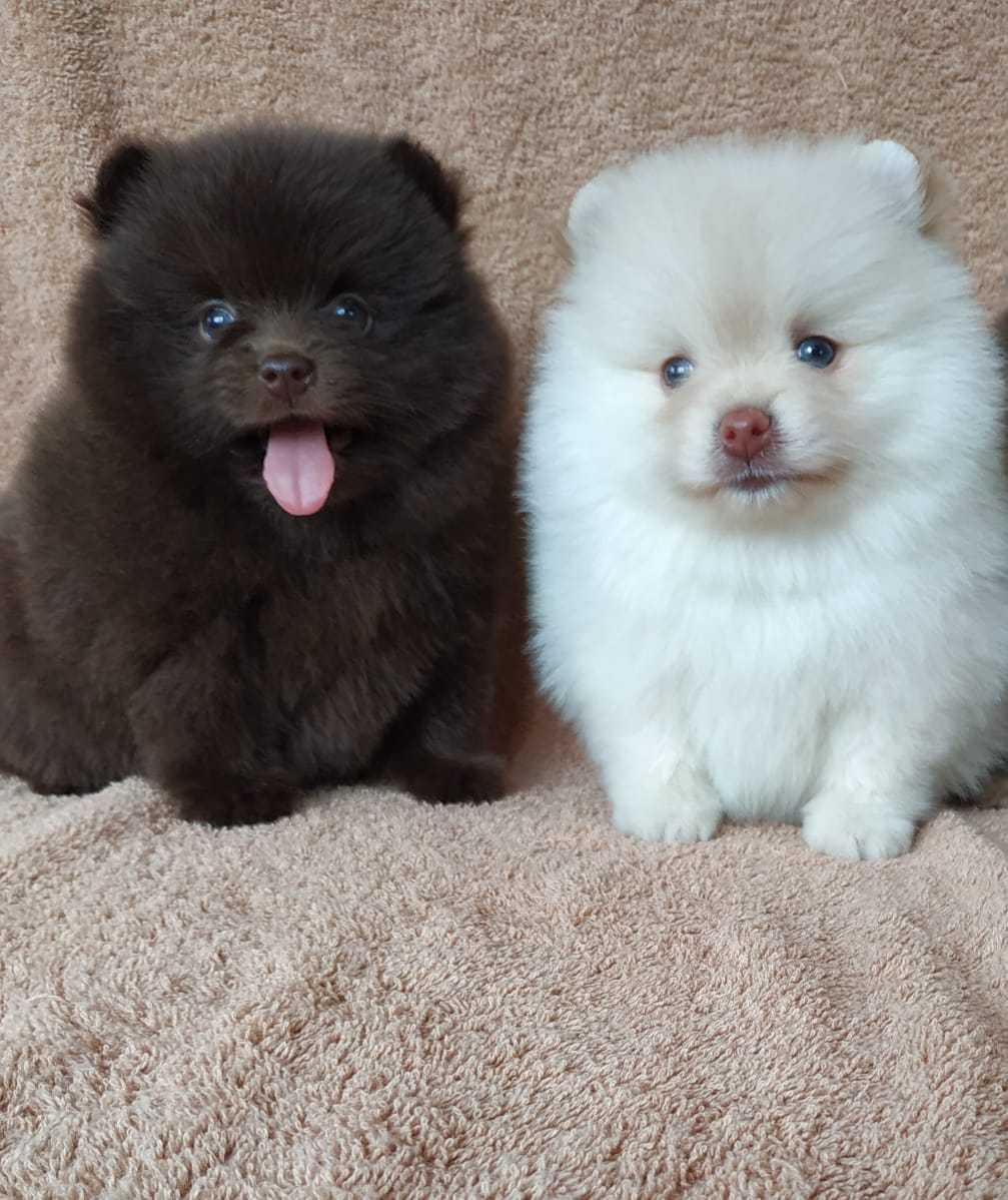 Teacup Pomeranian Puppies For Sale In Los Angeles And New York