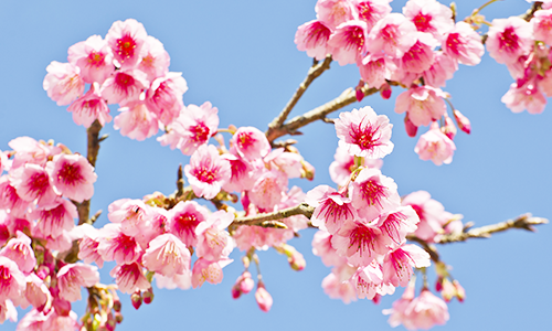 Ветка розовой сакуры на фоне голубого неба