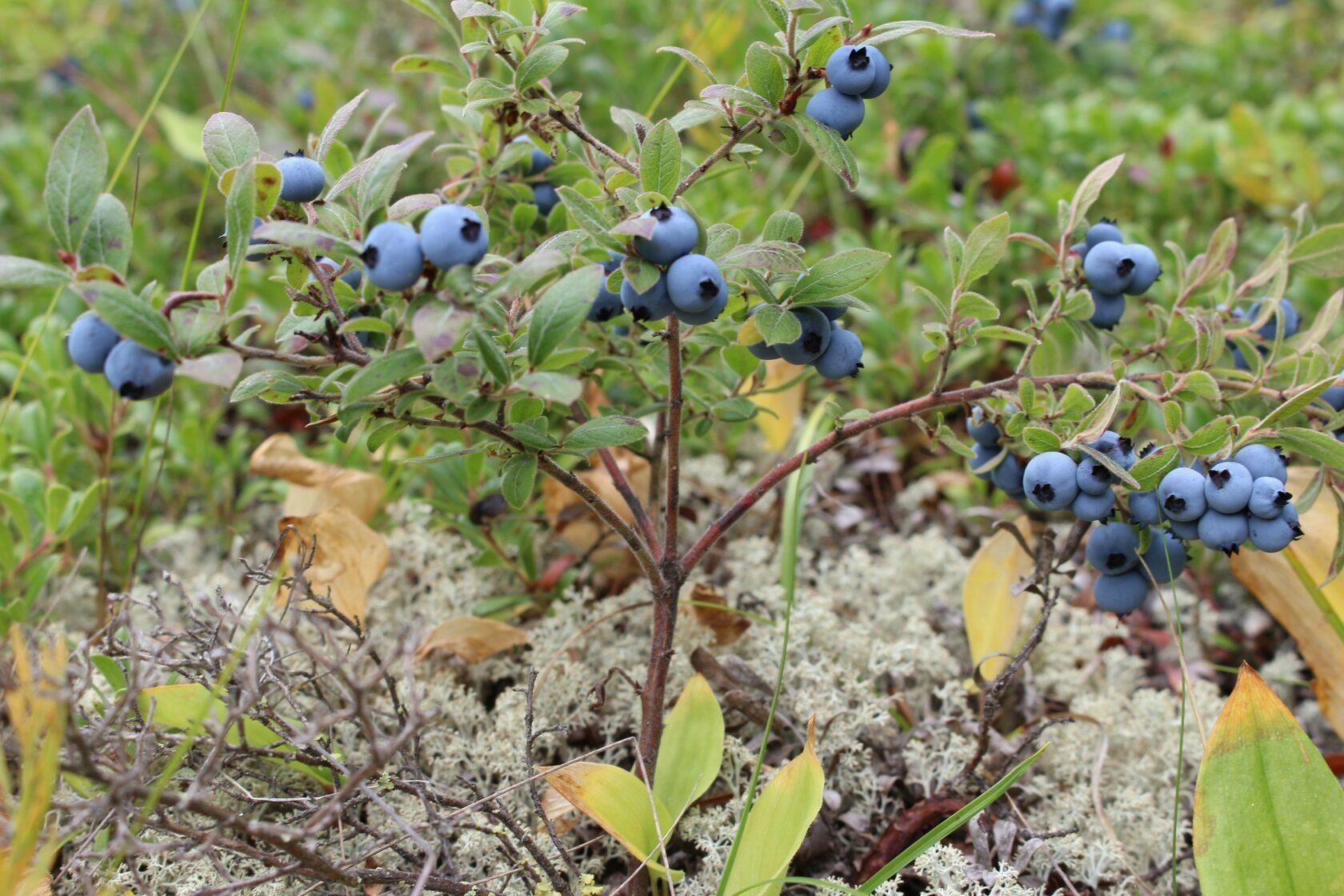 Ягоды дикорастущей голубики мелкие, кустики не превышают 40 см, ягод мало.