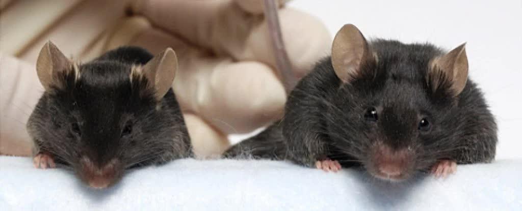 Генно-модифицированные мыши