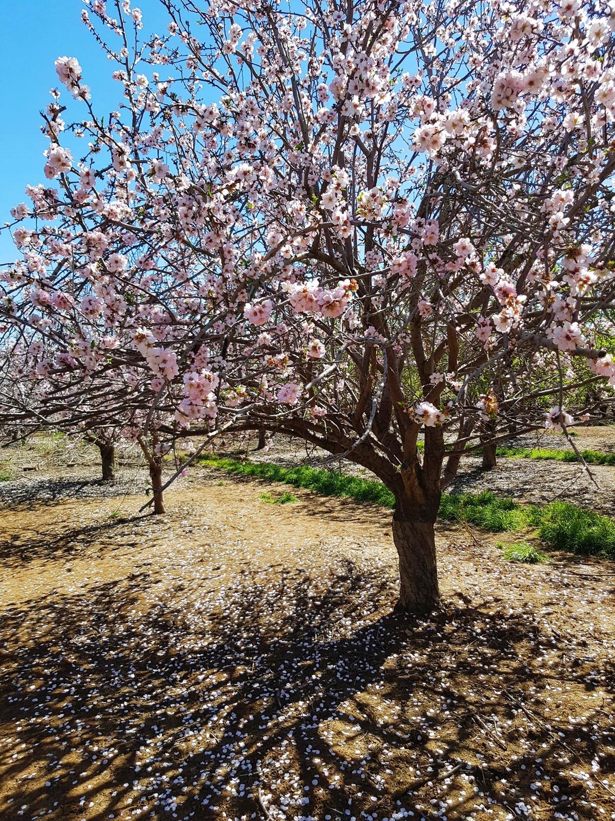 Миндальное дерево. Латрун, Израиль.