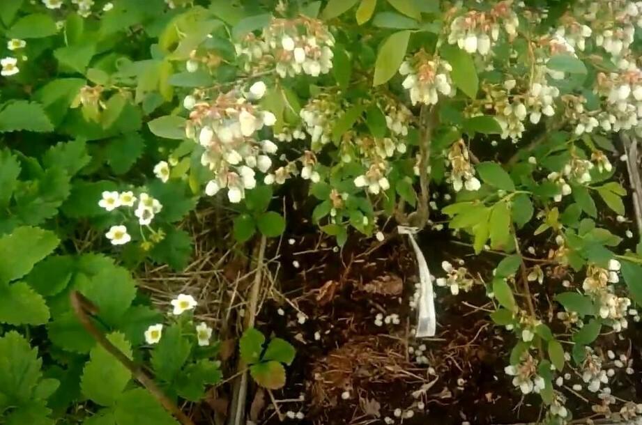 Для посадки голубики «Торо» желательно использовать защищенные посадочные ямы с качественно выполненным дренажем