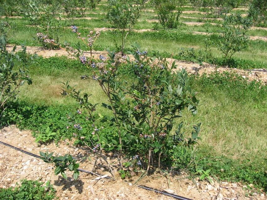 Растение быстрорастущие и рано начинает плодоносить