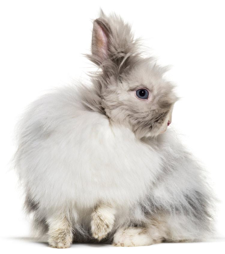 Ангорската вълна е от от специален вид заек, ангорски заек и може да се намери най-често в бяло.