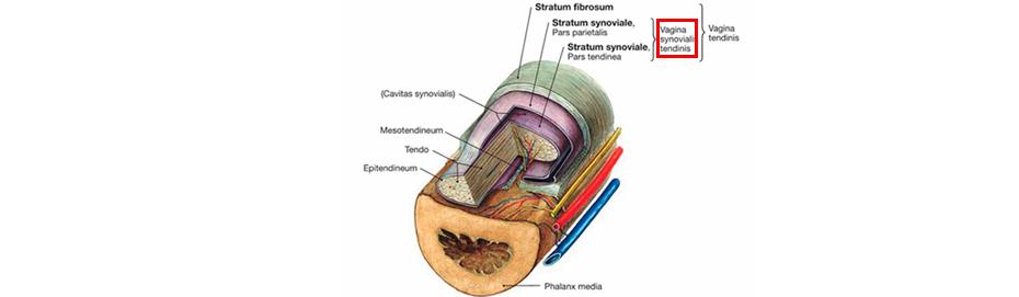 Синовиальное влагалище