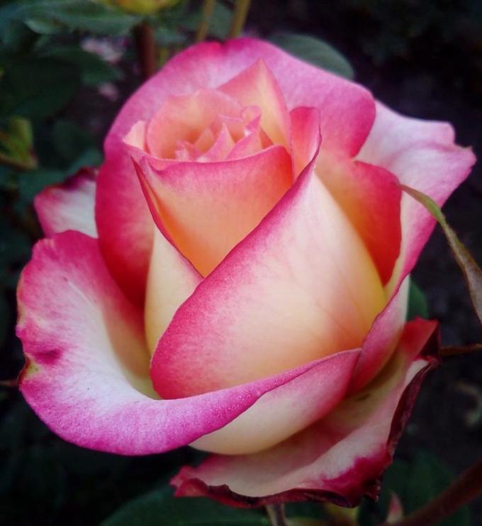после неожиданного роза утопия фото надеюсь