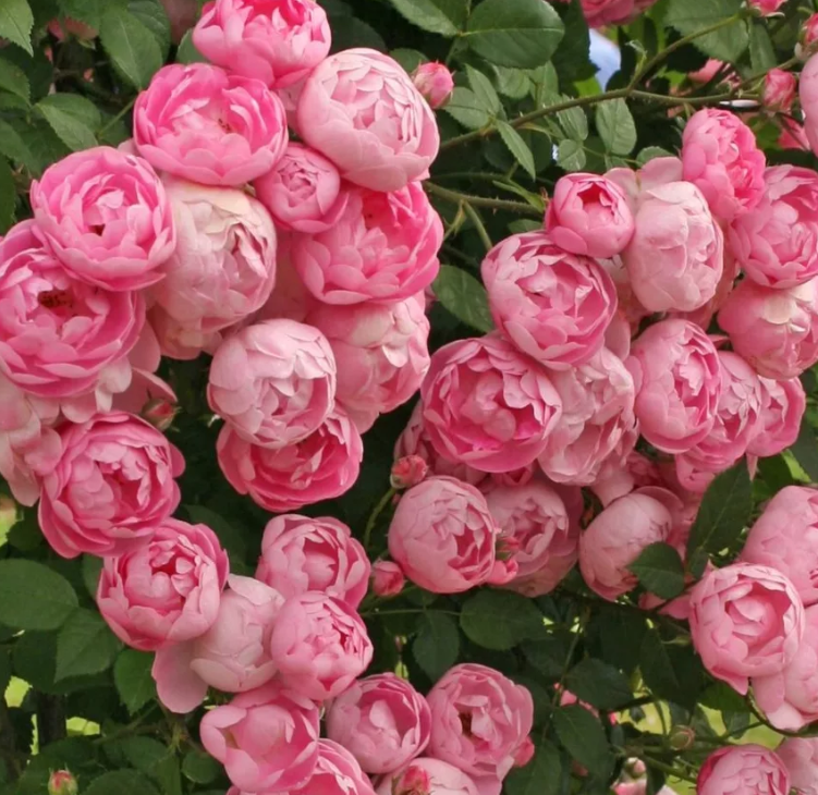 желаем сорта немахровых плетистых роз фото одна