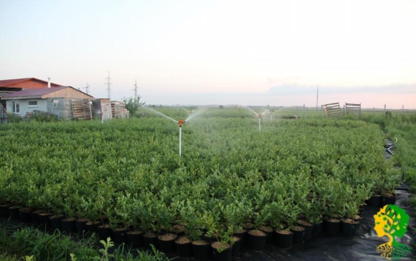 Голубика – влаголюбивое растение. Дождевание обеспечит активное развитие кустов и получение хороших урожаев.