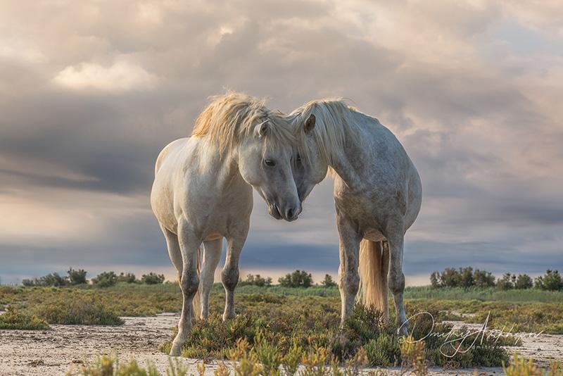 Лошади Camargue, Provence