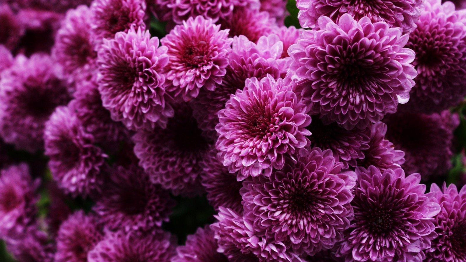 Открытку своими, картинки красивые хризантемы