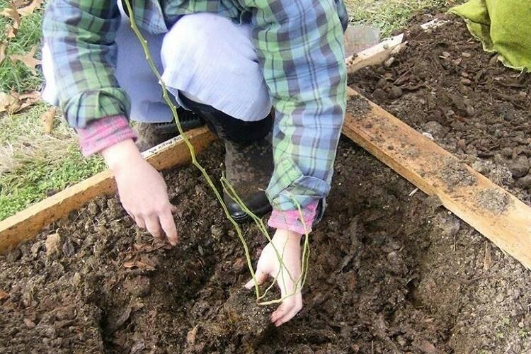 На севере сажать растения следует не позднее наступления сентября