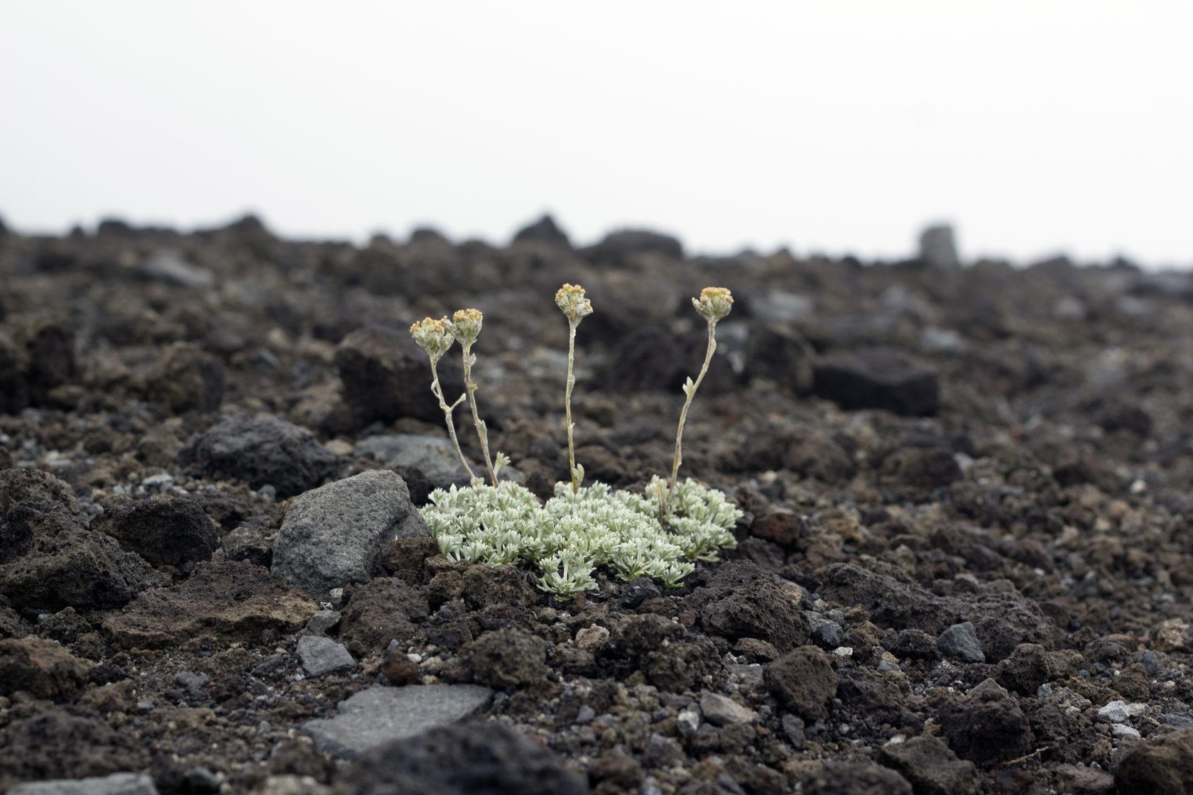 Горные цветы продолжают расти на выжженных склонах вулкана