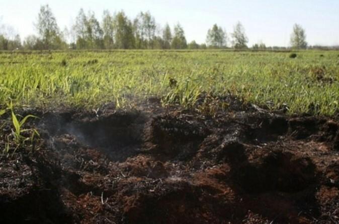 В природе кусты голубики растут непосредственно в верховом торфе