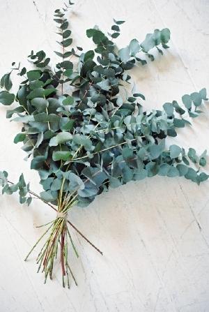 листья серебристого эвкалипта
