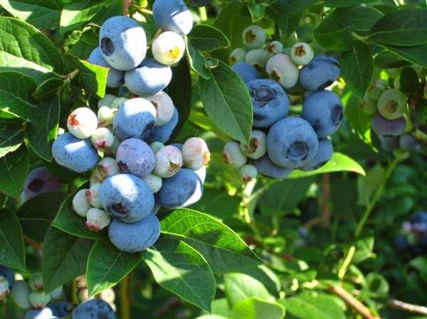 Сорт Хурон отличается насыщенно-зеленой листвой и фиолетово-синими ягодами
