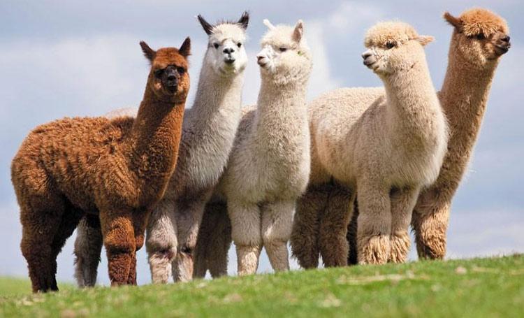 Вълната от лами алпака се среща в различни цветове.
