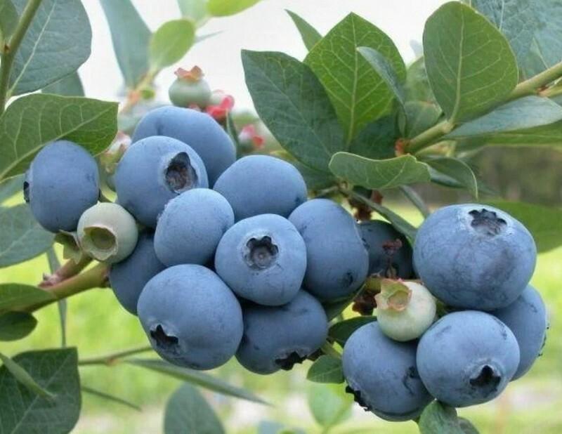 Плоды созревают дружно
