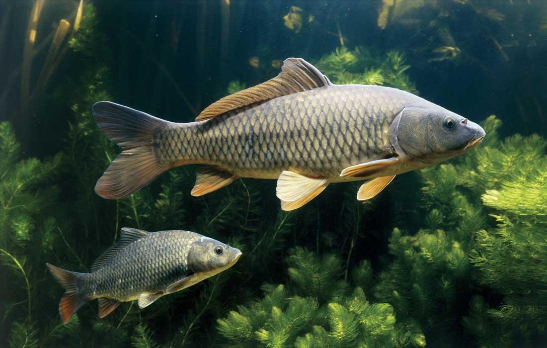 Рыбы карп картинка
