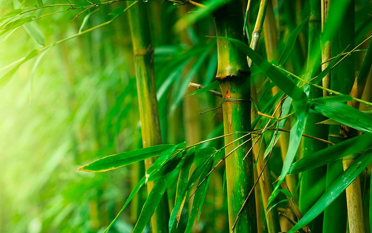 мощных огромных картинки бамбук для телефона жарке филе аргентины