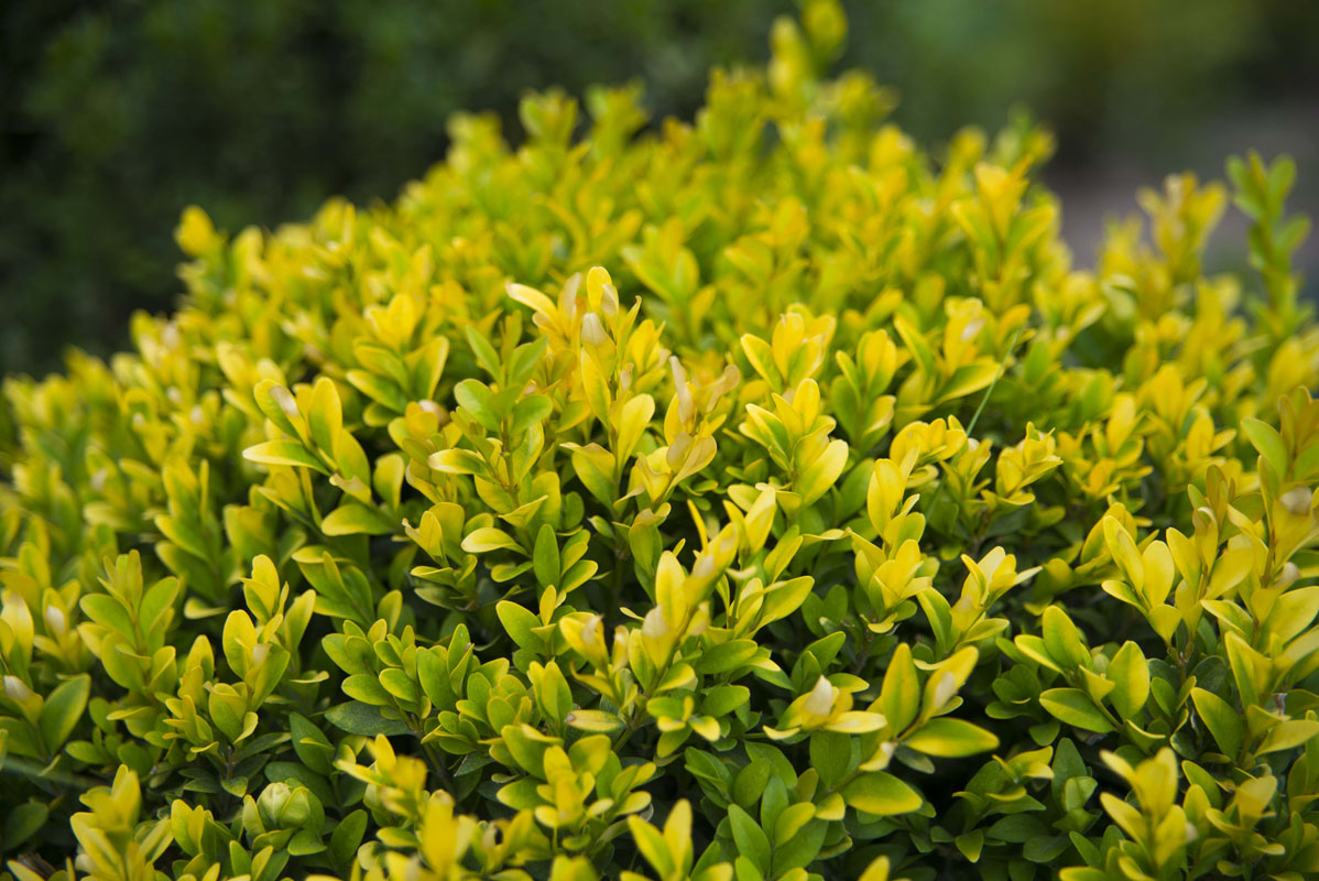 фантазии никогда вечнозеленые садовые растения фото и названия пробуйте, если