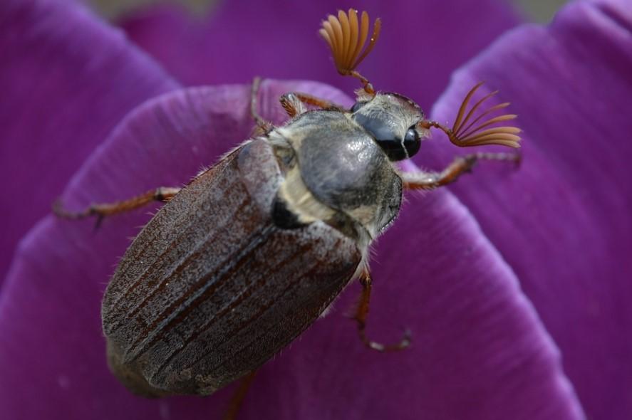 Майский жук представляет наибольшую опасность для Бригитты Блю