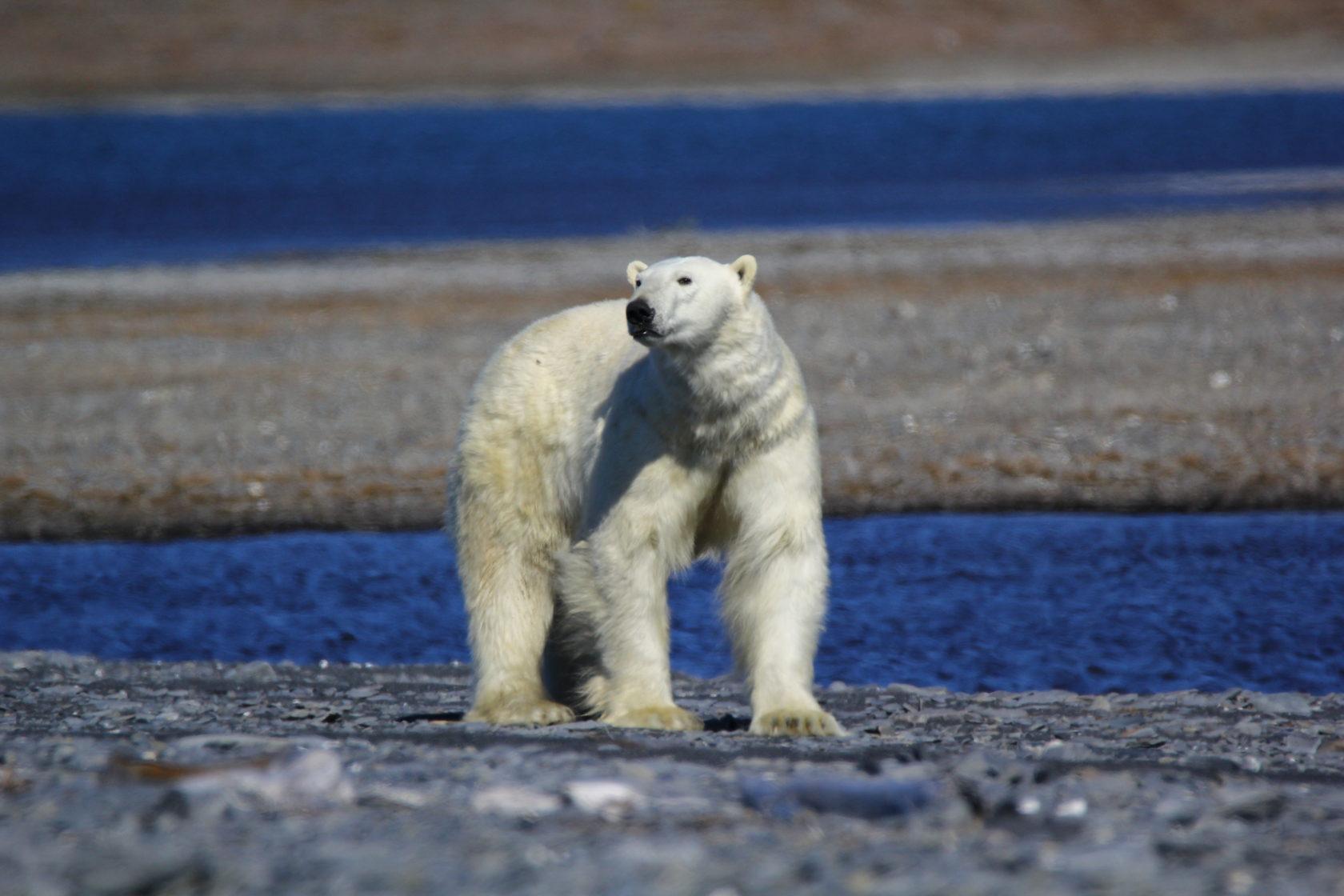 всего камифубики чукотка медведи едят кита фото классике есть тема