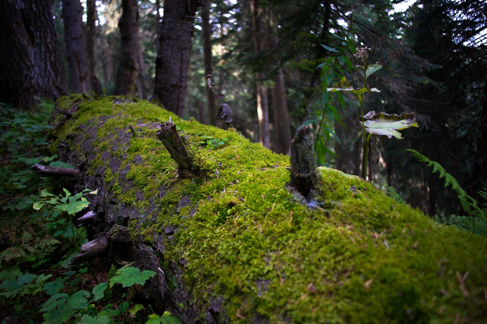 лес, грузия,сванетия,бревно,мох