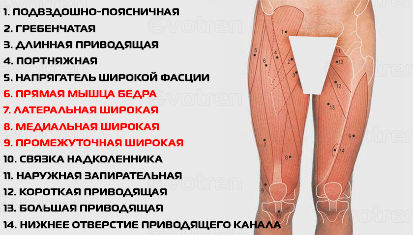 Поверхностная анатомия квадрицепса