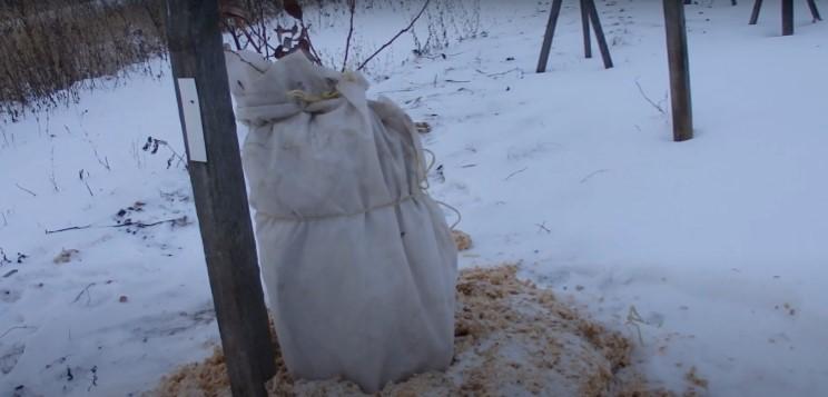 В резко континентальном климате осенью кусты голубики накрывают лапником или агроспаном
