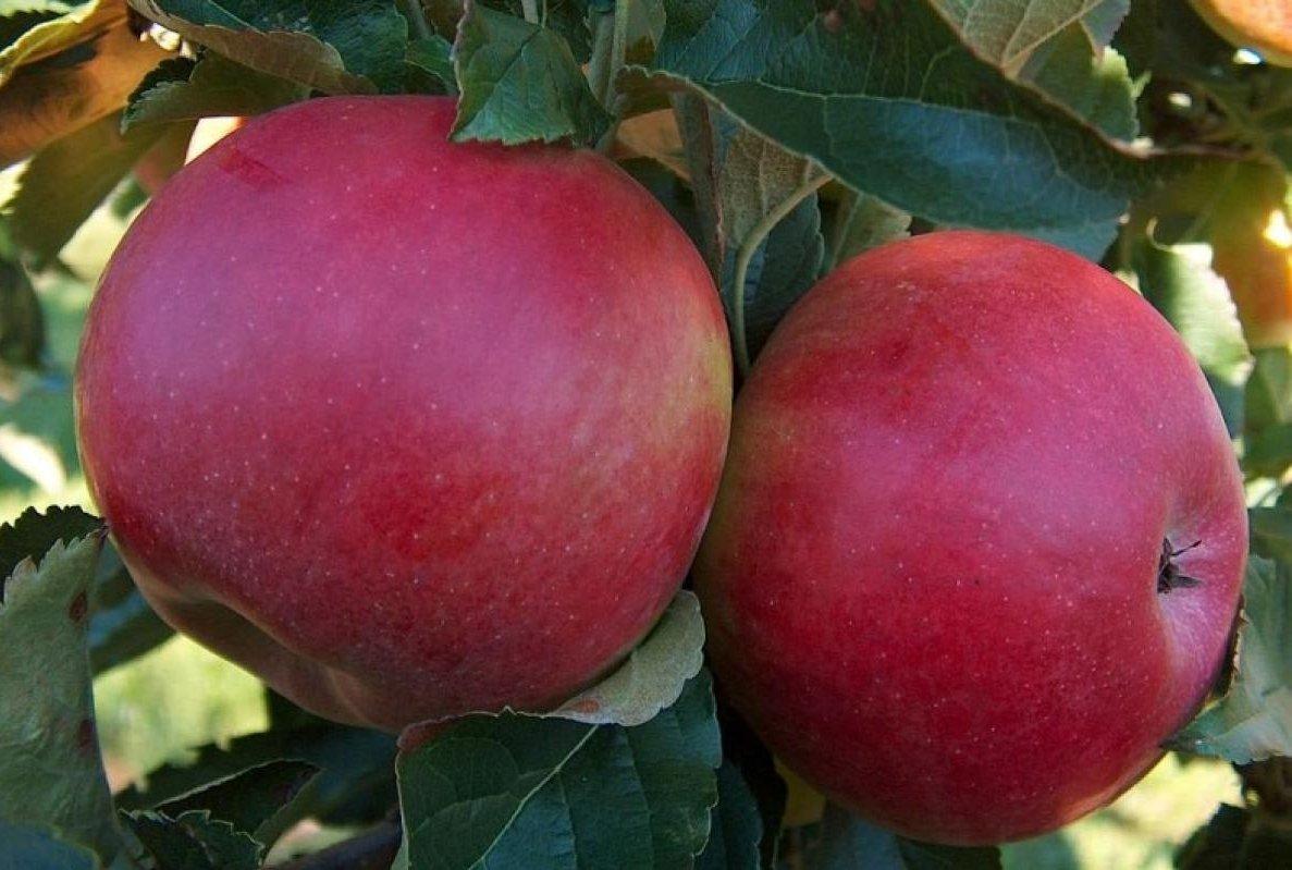 яблоня Red Melba