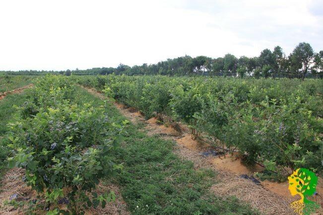 В зависимости от выбранного сорта, а также схемы посадки на одном гектаре размещается от 2500 до 5000 кустов