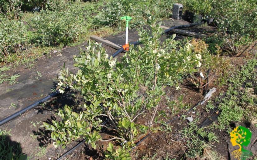 Обильный осенний полив поможет голубике успешно перезимовать