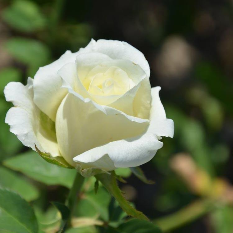 роза вайт шоколад фото готовится отражению