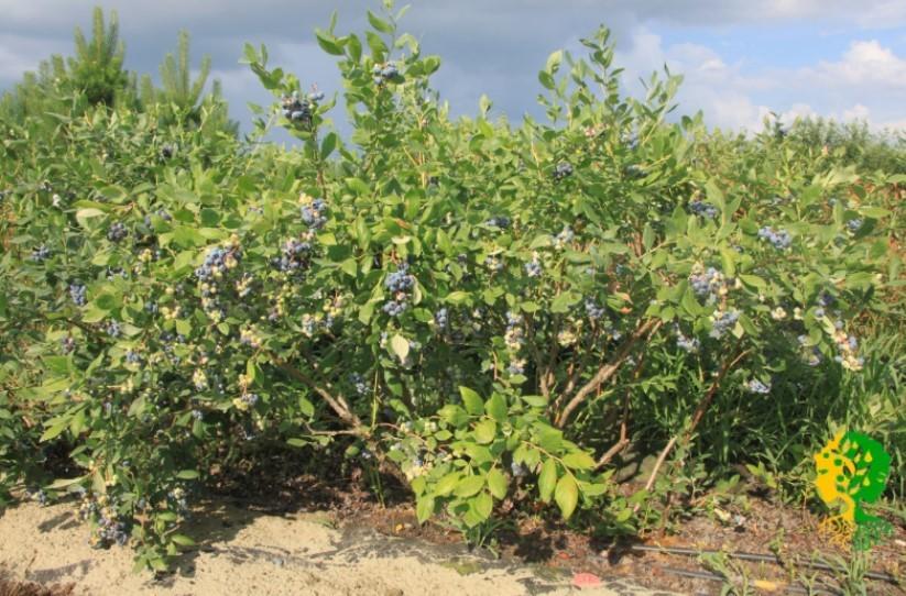 Выращивание голубики на кубани