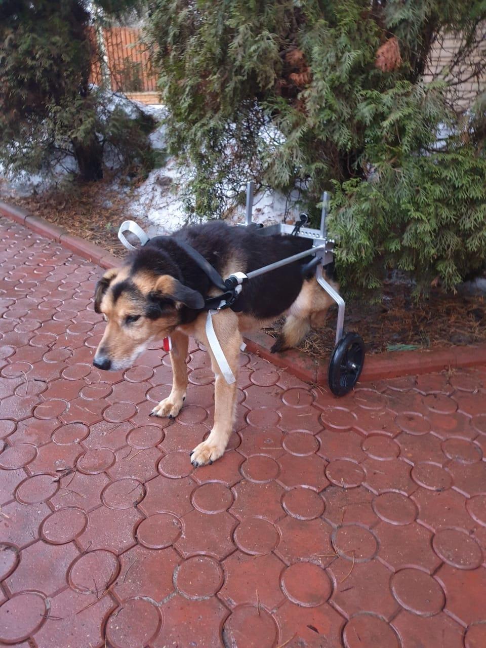 Инвалидная коляска для больших собак