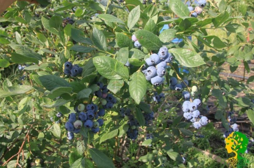 Плоды садовой голубики отличаются крупными размерами