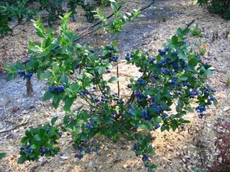 Зеленые кусты усыпанные синими ягодами служат украшением любого сада
