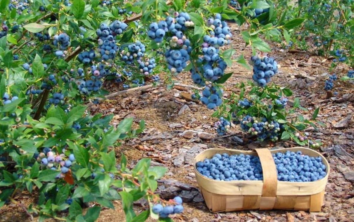 Плоды собирают в течение месяца по мере их созревания